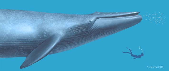 Uma ilustração mostra como seria a proporção de tamanho de um mergulhador de hoje em relação ...