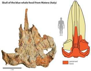 O crânio do fóssil da baleia de Matera (esquerda) ajudou os cientistas a recriarem o crânio ...