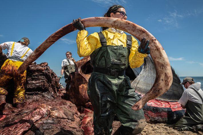 Uma pesquisadora remove uma costela do corpo de Wolverine, uma baleia-franca macho de nove anos de ...