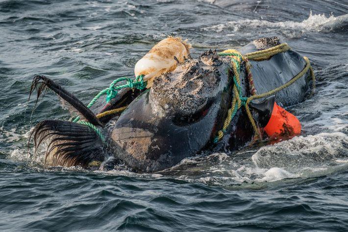 Cordas de pesca em volta da cabeça e da boca de uma baleia-franca-do-atlântico-norte no Golfo de ...