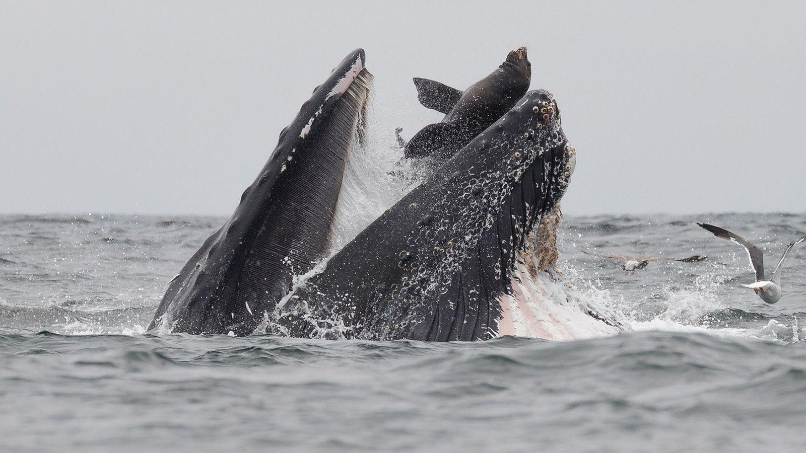 Um fotógrafo na Baía de Monterey avistou uma baleia-jubarte que abocanhou por acidente um leão-marinho quando ...