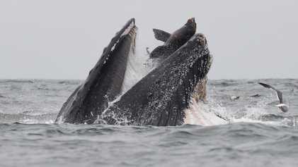 Como um leão-marinho foi parar na boca de uma baleia-jubarte