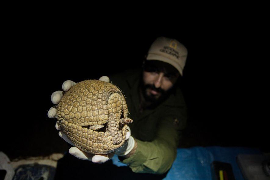 O fotógrafo Gustavo Fonseca segura um tatu-bola capturado para avaliação. Fonseca conta que caçar era uma tradição cultural na sua família, uma espécie de rito de crescimento, pelo qual todos as crianças precisam passar. Agora, ajudando na conservação de espécies ameaçadas, ele se sente redimido.