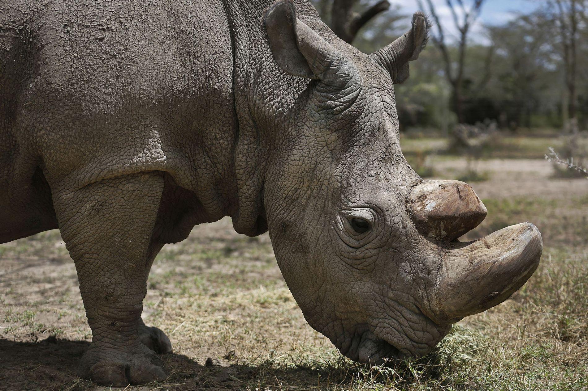sudan-rinoceronte-branco-norte-macho
