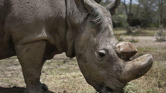 """""""Fique bem, Sudan"""": último rinoceronte-branco do norte macho é reverenciado no Quênia"""