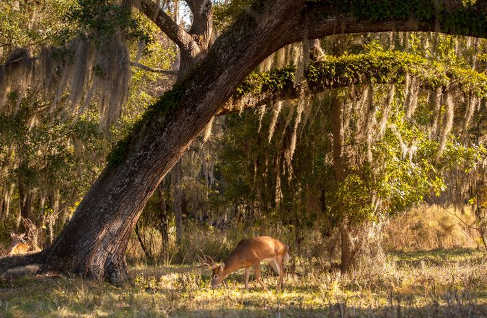 Veado-galheiro se alimenta ao lado de carvalho próximo a Ocala, Flórida. Na Dakota do Norte e ...