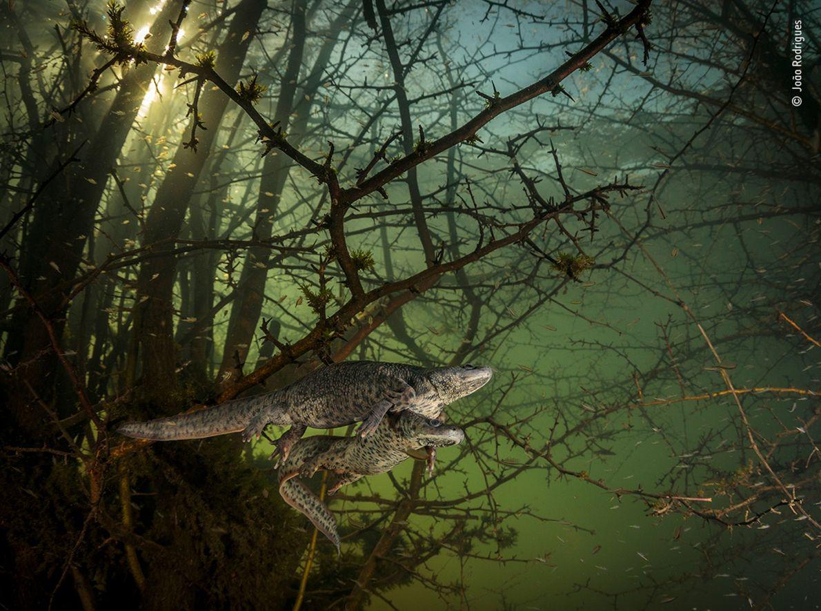 Foto de duas salamandras acasalando embaixo d'água