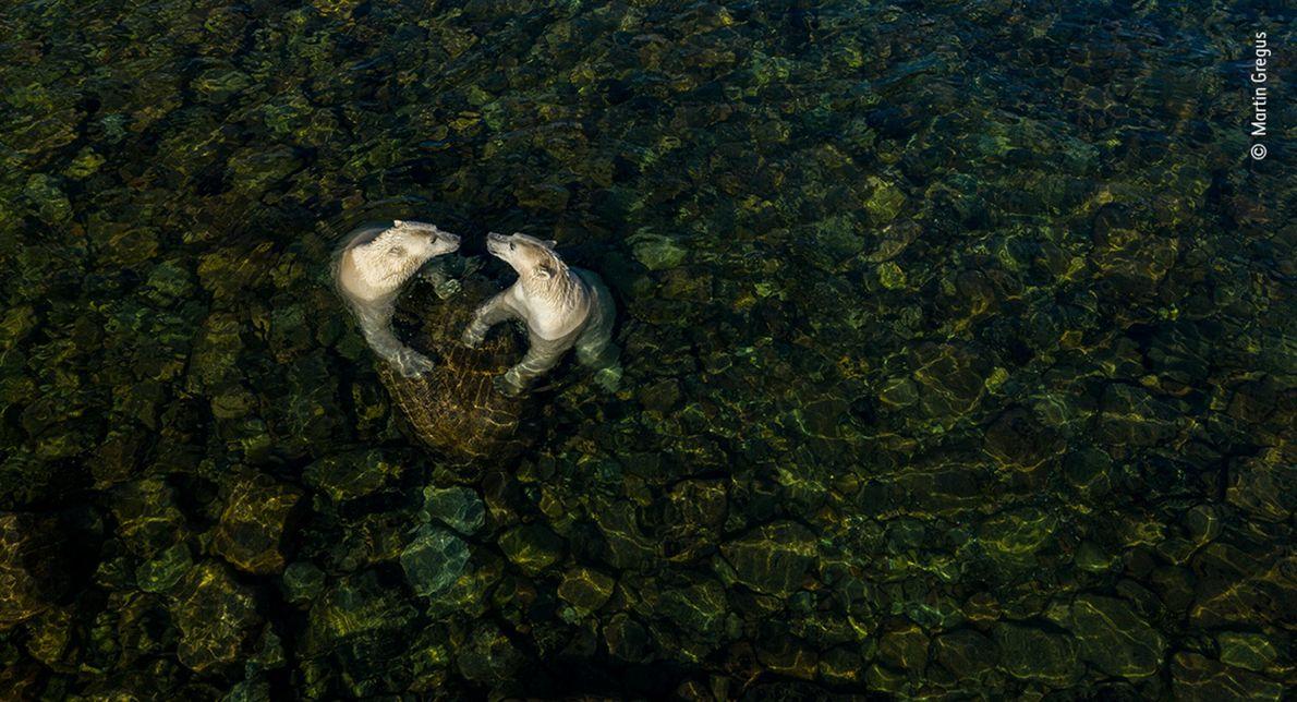 foto aérea de dois ursos-polares brincando em águas rasas