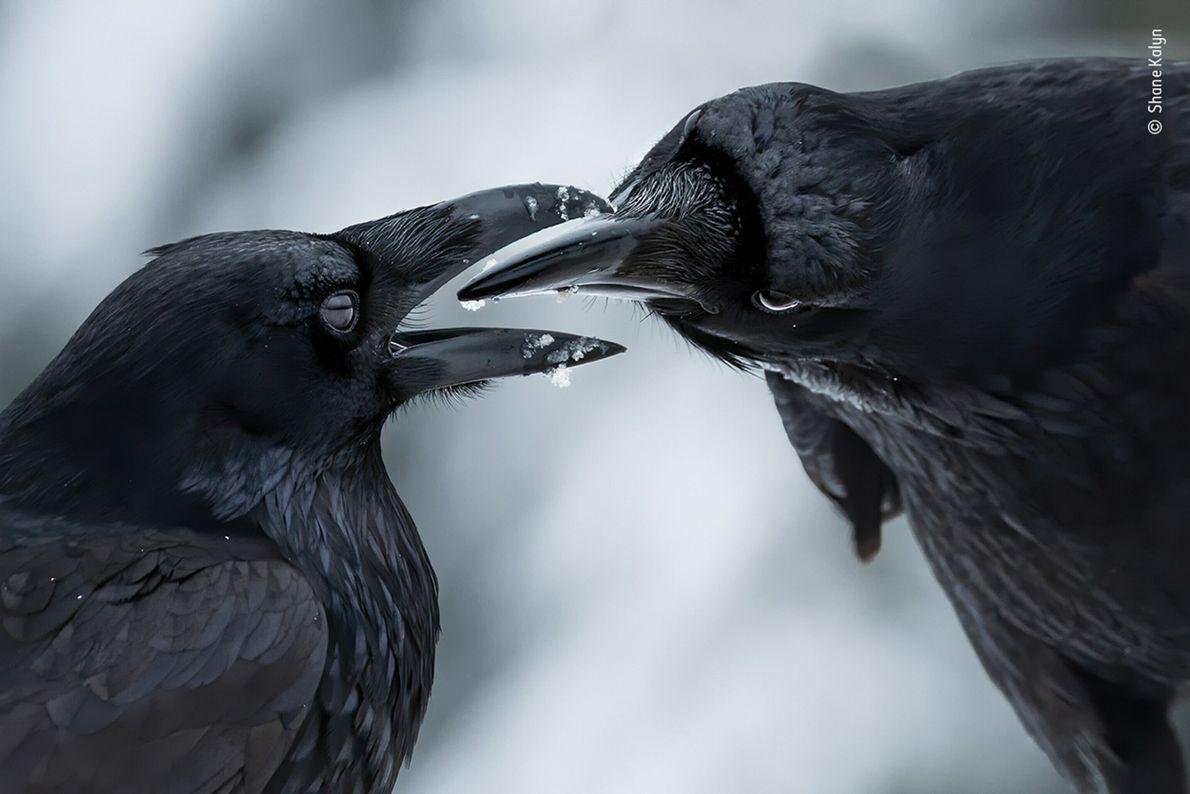 Foto de dois corvos pretos em um ritual de acasalamento, bicos quase se tocando