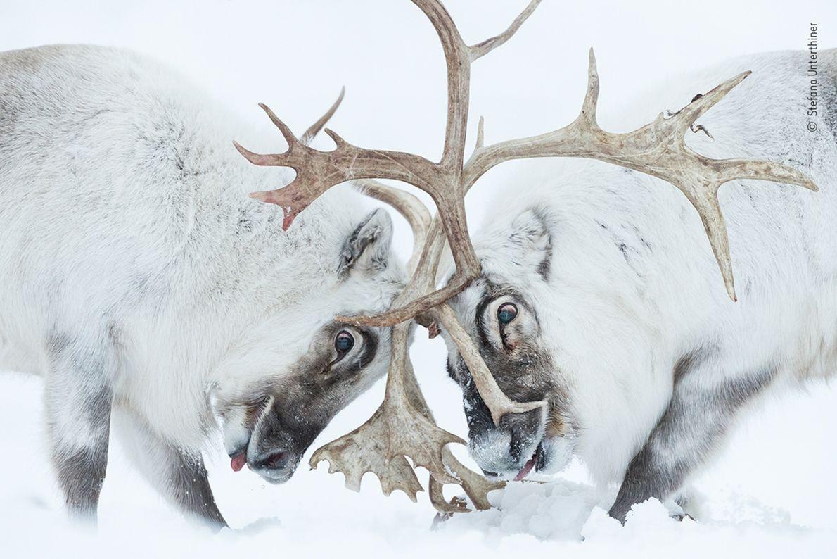 foto de duas renas cobertas de neve brigando com suas galhas na neve