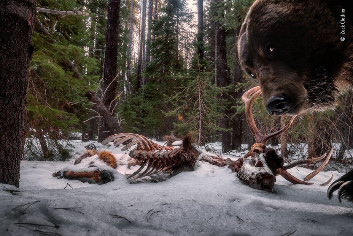 foto de um urso olhando diretamente a câmera em primeiro plano e carcaças de alce em ...