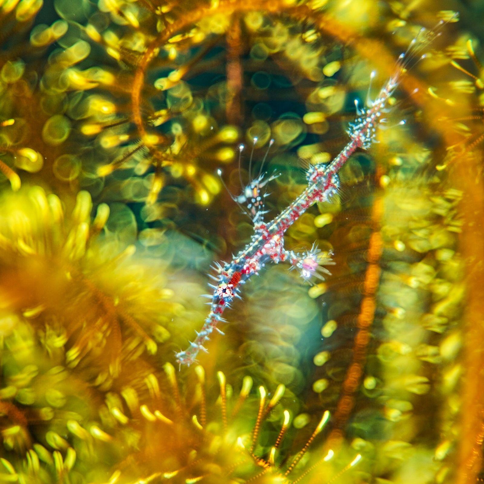 foto de um peixe Solenostomus paradoxus entre os braços de uma estrela-do-mar