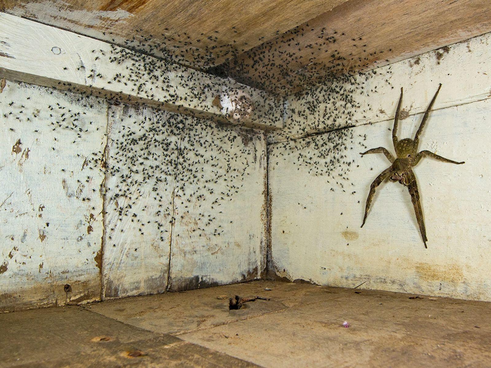 foto de uma aranha armadeira protegendo sua cria, que são milhares de pequenas aranhas