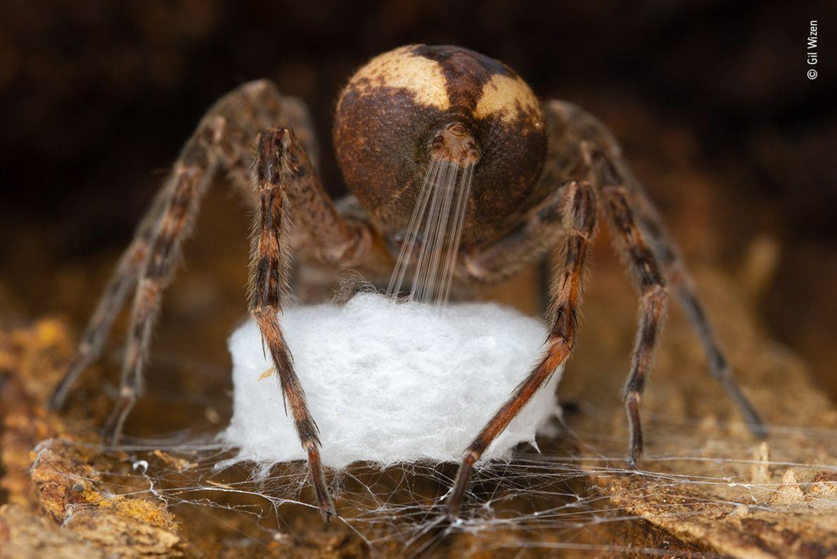 Foto em close de uma aranha produzindo um saco de ovos com sua teia