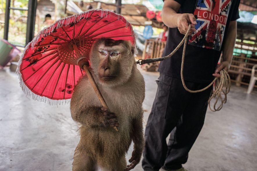 Um Macaca leonina faz uma pausa de um show na Escola de Macacos, um zoológico mambembe ...