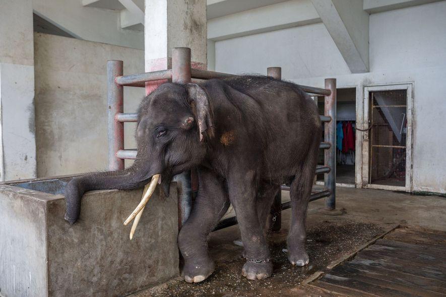 Gluay Hom, um elefante de quatro anos treinado para se apresentar aos turistas, está acorrentado a ...