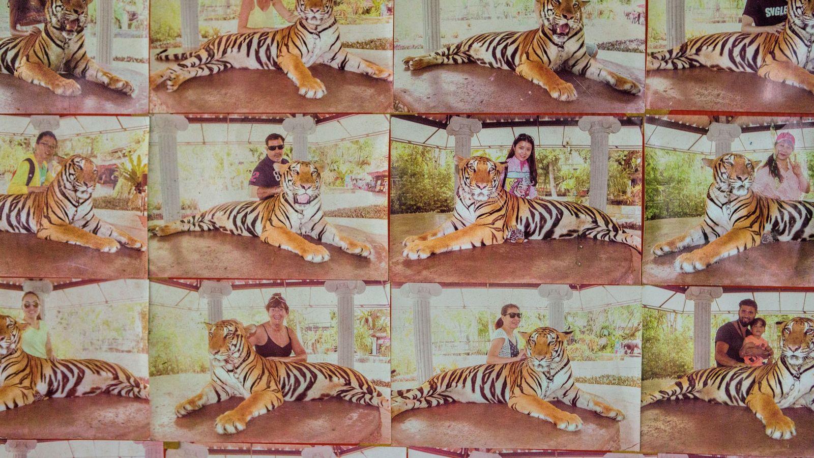 Pelo equivalente a 10 dólares, turistas podem posar com este tigre no zoo de Phuket, na ...