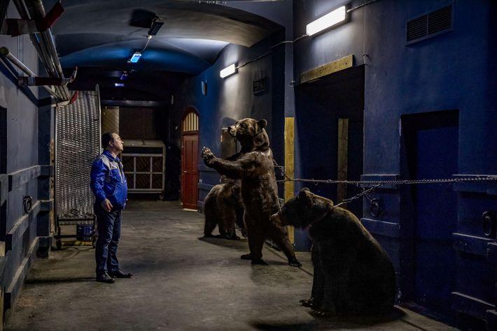 Acorrentados, três ursos defrontam seu treinador, Grant Ibragimov, depois de um ensaio no Circo Estatal Bolshoi ...