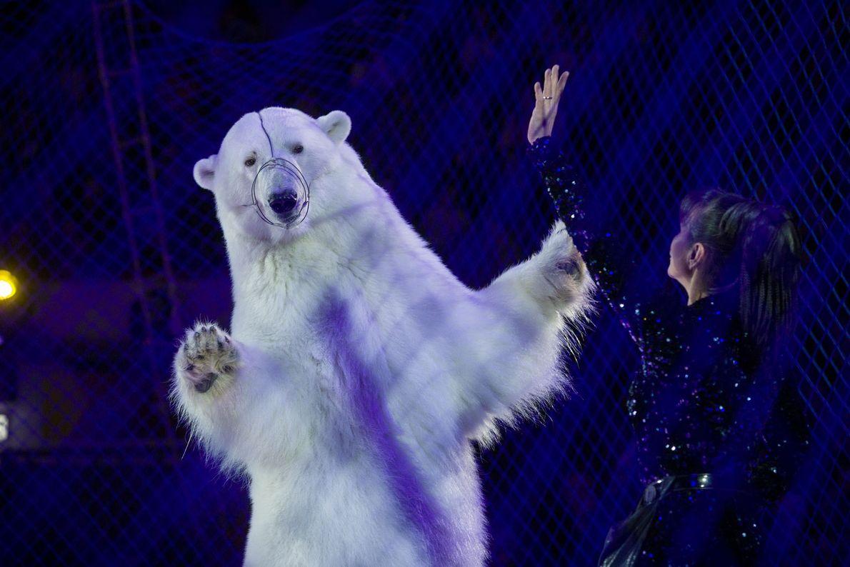 Por trás da rede, um urso-polar dança no Circo no Gelo, em Kazan, Rússia. Ursos-polares de ...