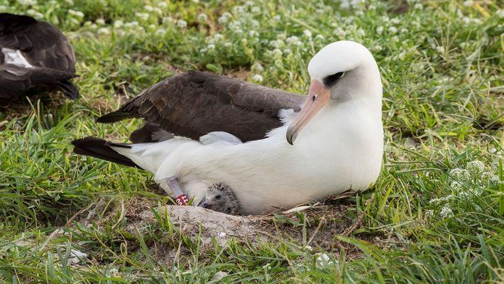 Aos 67, ave mais velha do mundo choca mais um filhote