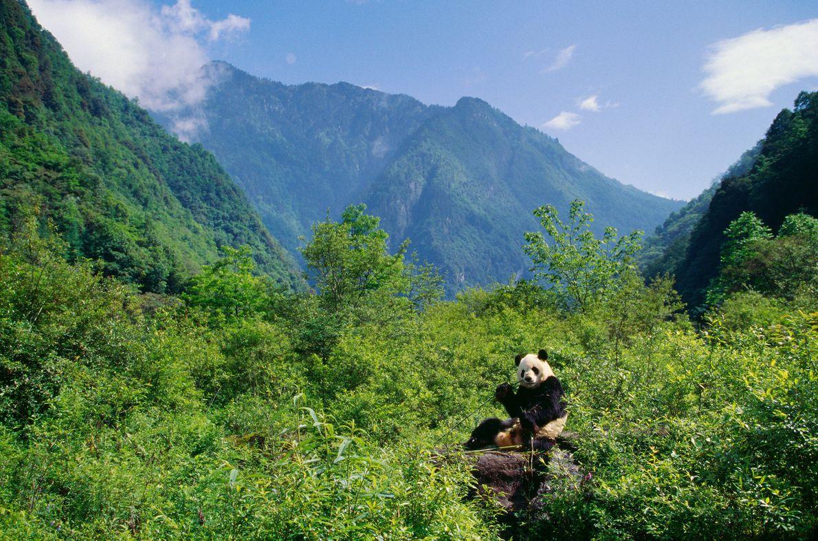 Santuário Panda nas Montanhas Qionglai e Jiajin