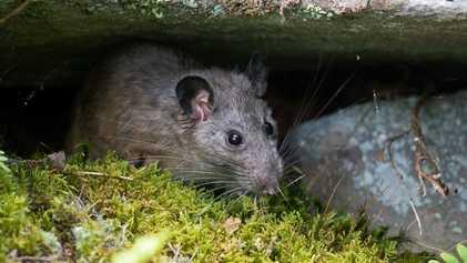 Espécie de rato está desaparecendo misteriosamente, mas pandemia trouxe esperança