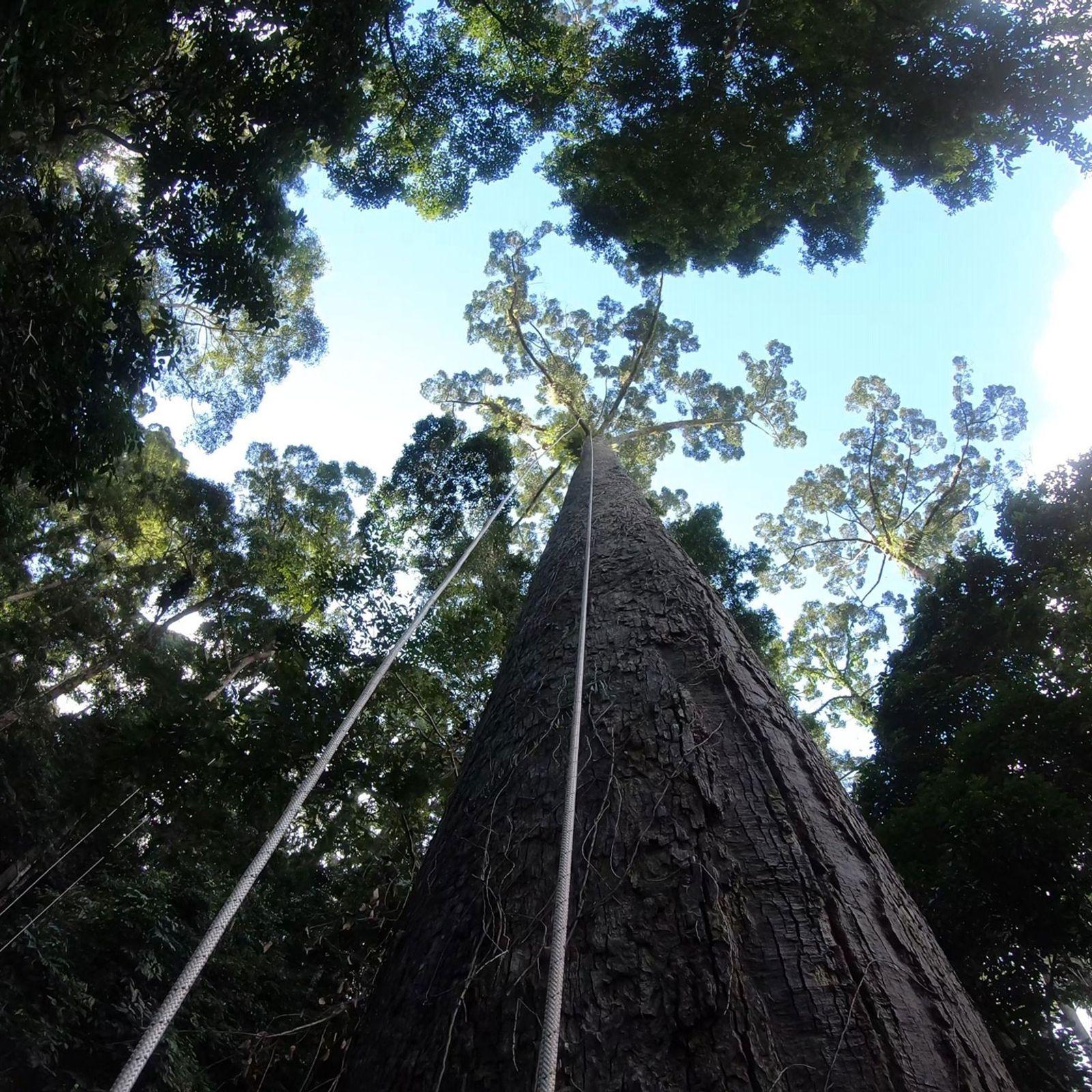 Um grupo de cientistas escala uma possível candidata à árvore mais alta do mundo em Bornéu, ...