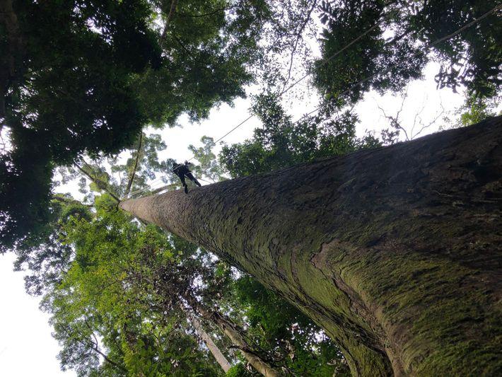Escalar as árvores mais altas do mundo não é para os fracos.