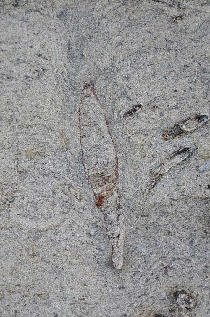 A parte de cima da toca fossilizada encontrada em Taiwan tem um formato de pena, semelhante ...