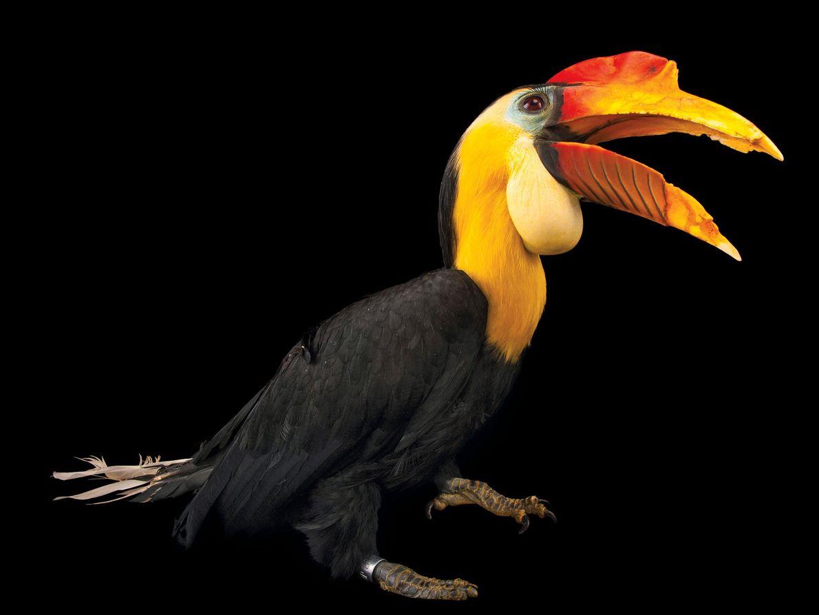 Calau da espécie Rhabdotorrhinus corrugatus (em perigo de extinção)