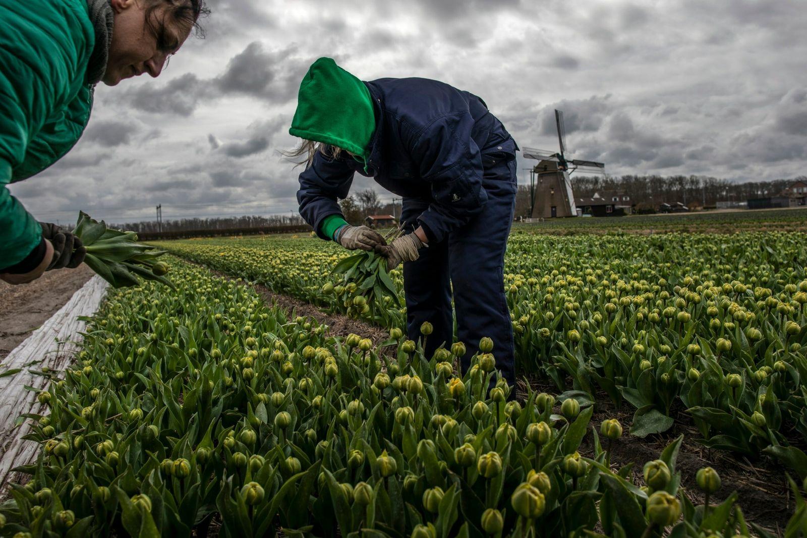 As floricultoras Patricia Pasmik e Dominika Ciaranek colhem tulipas em um campo perto da cidade de ...