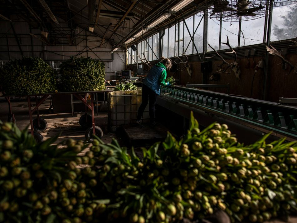 Produtores de tulipas na Holanda esperam alta no mercado após o fim da pandemia