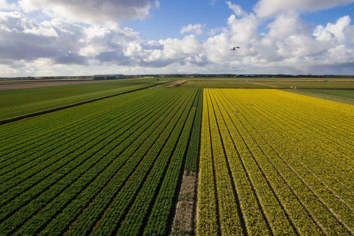 Tulipas e narcisos florescem em campos vizinhos na Firma J. Dignum en Zn, fazenda de flores ...