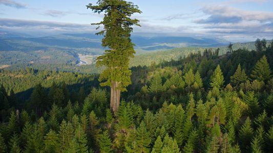Maiores e mais antigas árvores do mundo estão morrendo, deixando as florestas mais jovens