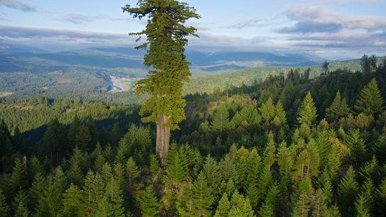 O maior trecho de floresta de sequoias que ainda resta está localizado no Parque Estadual de ...