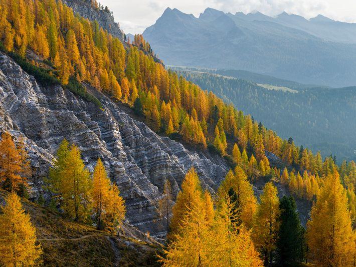 Uma encosta repleta de larício dourado, nas Dolomitas, na Itália. Árvores maduras em todo o mundo ...