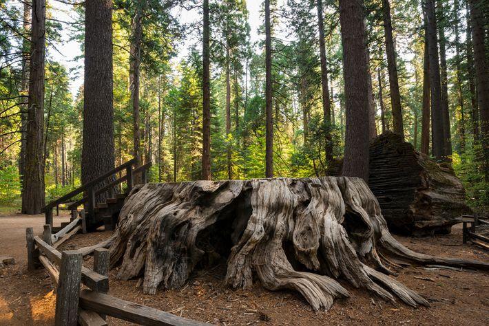 Toco de uma sequoia gigante, conhecida como Discovery Tree, localizada no Parque Estadual Calaveras Big Trees.
