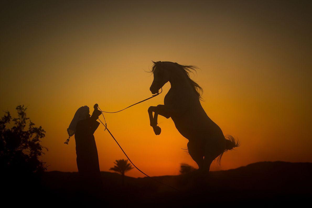 DESERTO OCIDENTAL Esta silhueta de um cavalo árabe que se ergue contra um pôr-do-sol – maior do ...