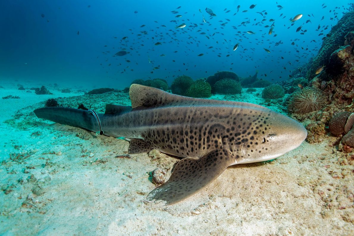Tubarão-zebra: O tubarão-zebra pode não ser o mais rápido ou o mais esperto, mas pode ser ...