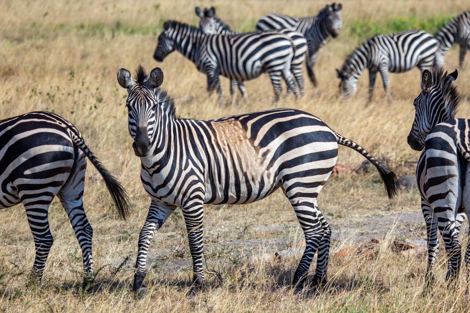 Zebras com manchas e listras incomuns podem ser um alerta sombrio sobre o futuro da espécie
