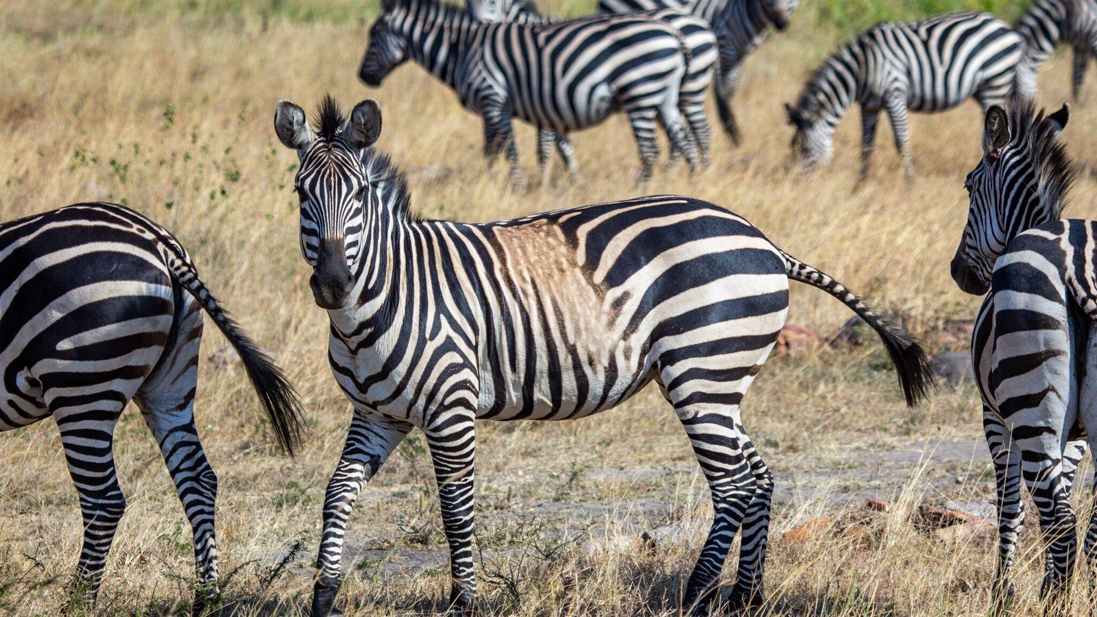 Zebra-das-planícies, com mancha interrompendo o padrão das listras, faz uma pausa ao pastar no Parque Nacional ...