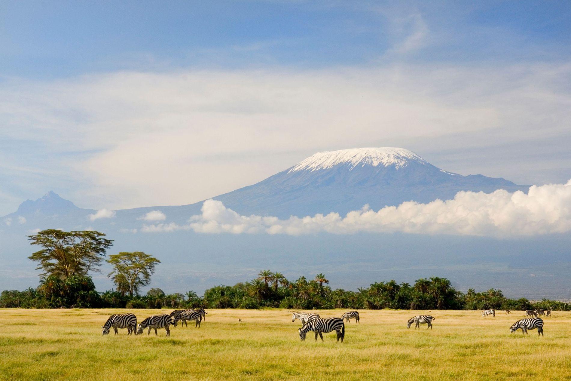 Sob o pico da montanha mais alta da África, o Kilimanjaro, zebras se alimentam de grama. ...